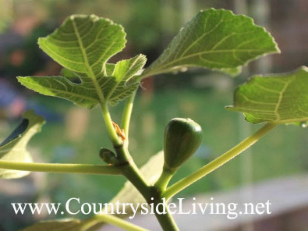 Инжир — выращивание в домашних условиях, как посадить