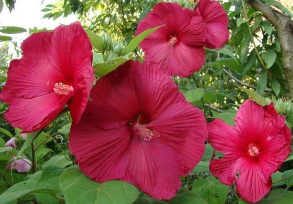 Как вырастить красивое растение? уход за гибискусом садовым