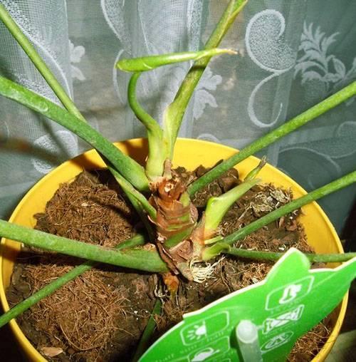 Зачем обновлять старый антуриум? как омолодить цветок в домашних условиях?