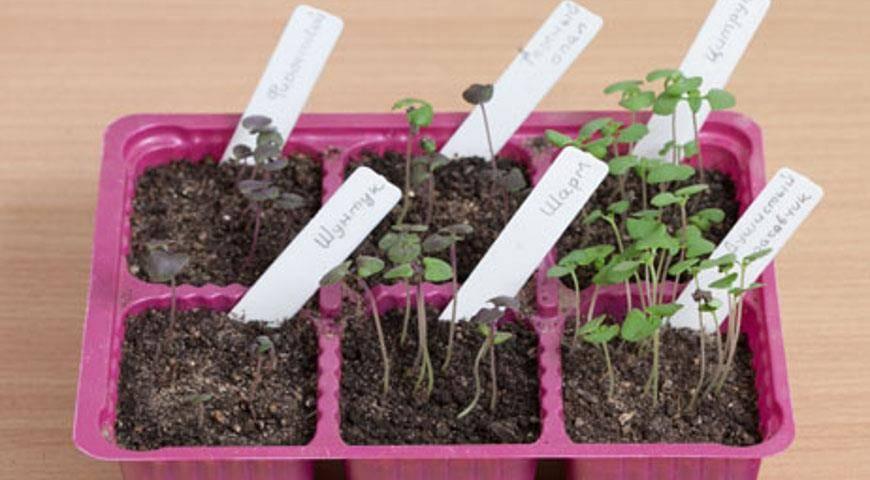 Выращиваем ароматные пряности: посадка кинзы в открытом грунте и в домашних условиях