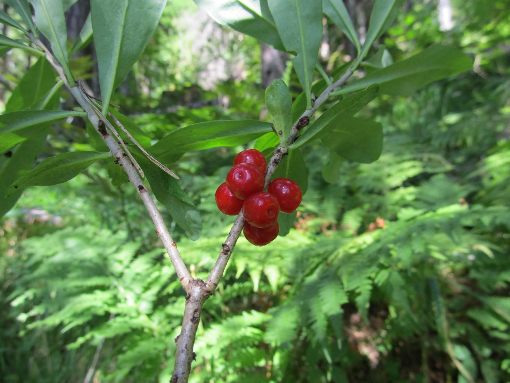 Ядовитые и несъедобные лесные ягоды россии и беларуси