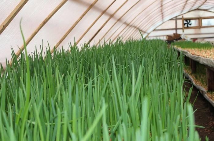 Лук батун: особенности выращивания в теплице
