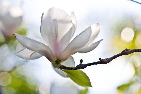 Как вырастить магнолию из семян в домашних. выращивание магнолии из семян — простые советы садоводам