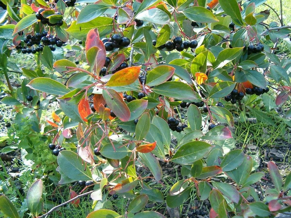 Ягодно-плодовые и декоративные кустарники многолетники для сада и огорода