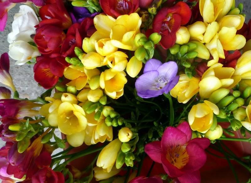 Фрезия — посадка и уход в открытом грунте. выращивание фрезии в домашних условиях: советы, правила, рекомендации
