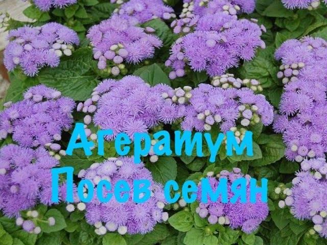 Агератум: описание и разновидности, посадка и уход