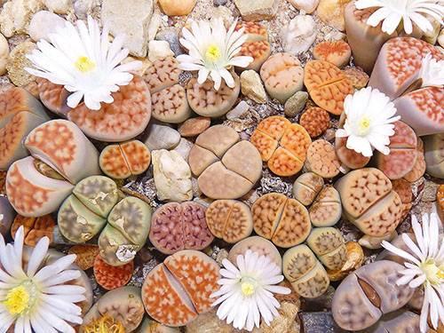 Литопсы (живые камни) уход и содержание в домашних условиях