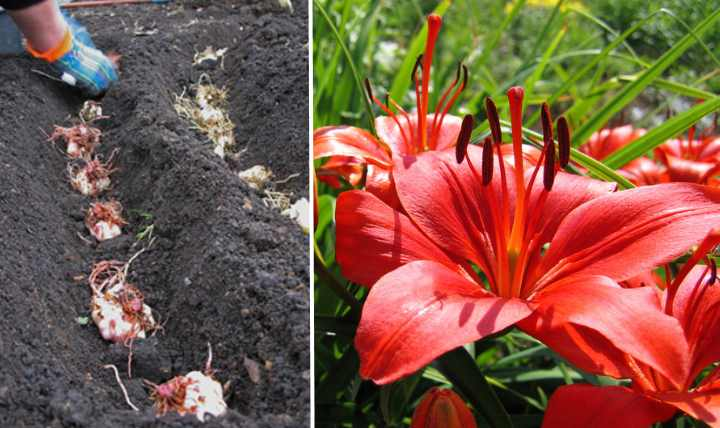 Когда сажать лилии осенью и как сделать это правильно