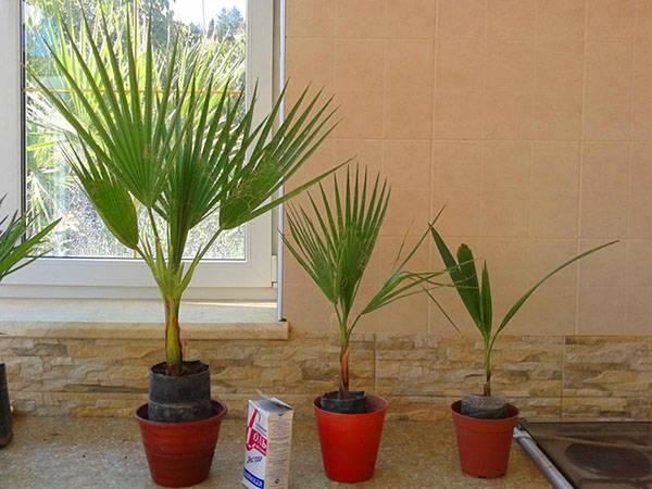 Как организовать грамотный уход за пальмой вашингтонией в домашних условиях