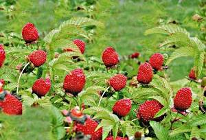 Необычный сорт малины — тибетская. особенности землянично-малиновой ягоды