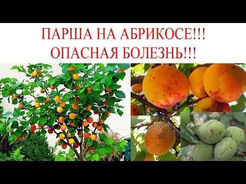 Как избавиться от тли на абрикосах?
