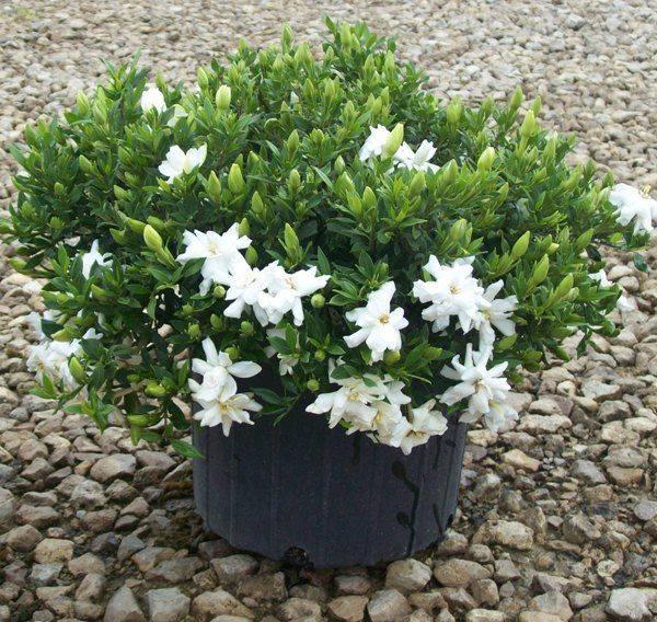 Выращивание и уход за гарденией в домашних условиях