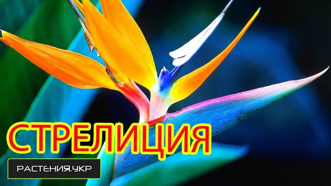 Экзотический цветок – стрелиция. выращивание в домашних условиях, также из семян и практические рекомендации