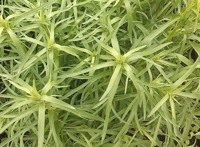 Полезные свойства травы тархун
