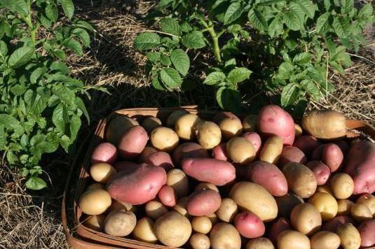 Полив и подкормка картофеля - рецепт отличного урожая