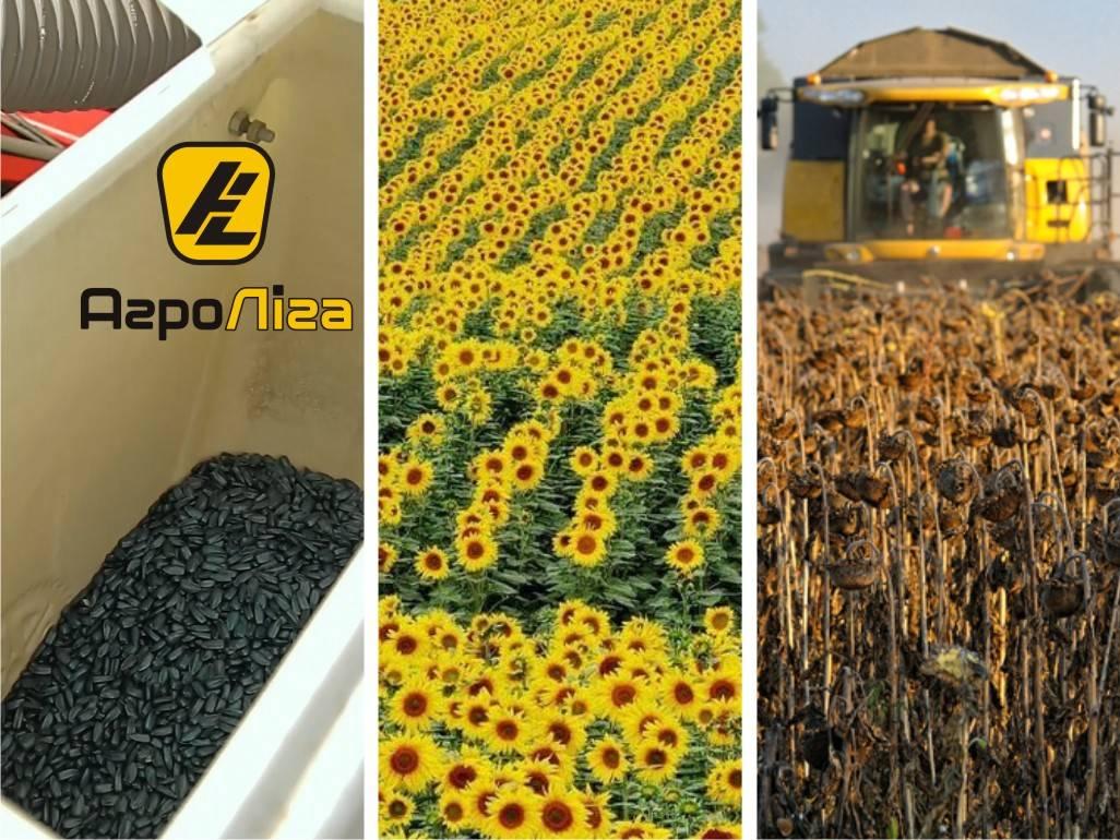 Посадка подсолнечника в 2020 году: сроки посева, выращивание и уход