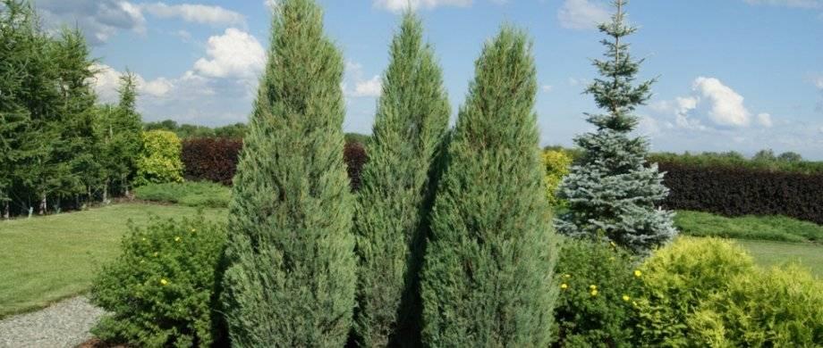 Можжевельник скальный: описание, сорта и выращивание