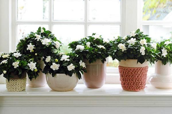 Гардения жасминовидная: особенности и уход в домашних условиях