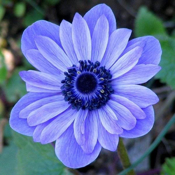Ветреница лесная - нежный первоцвет в саду