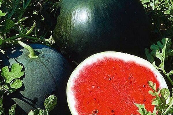 Как вырастить сладкие большие арбузы на даче и особенности посадки по регионам рф