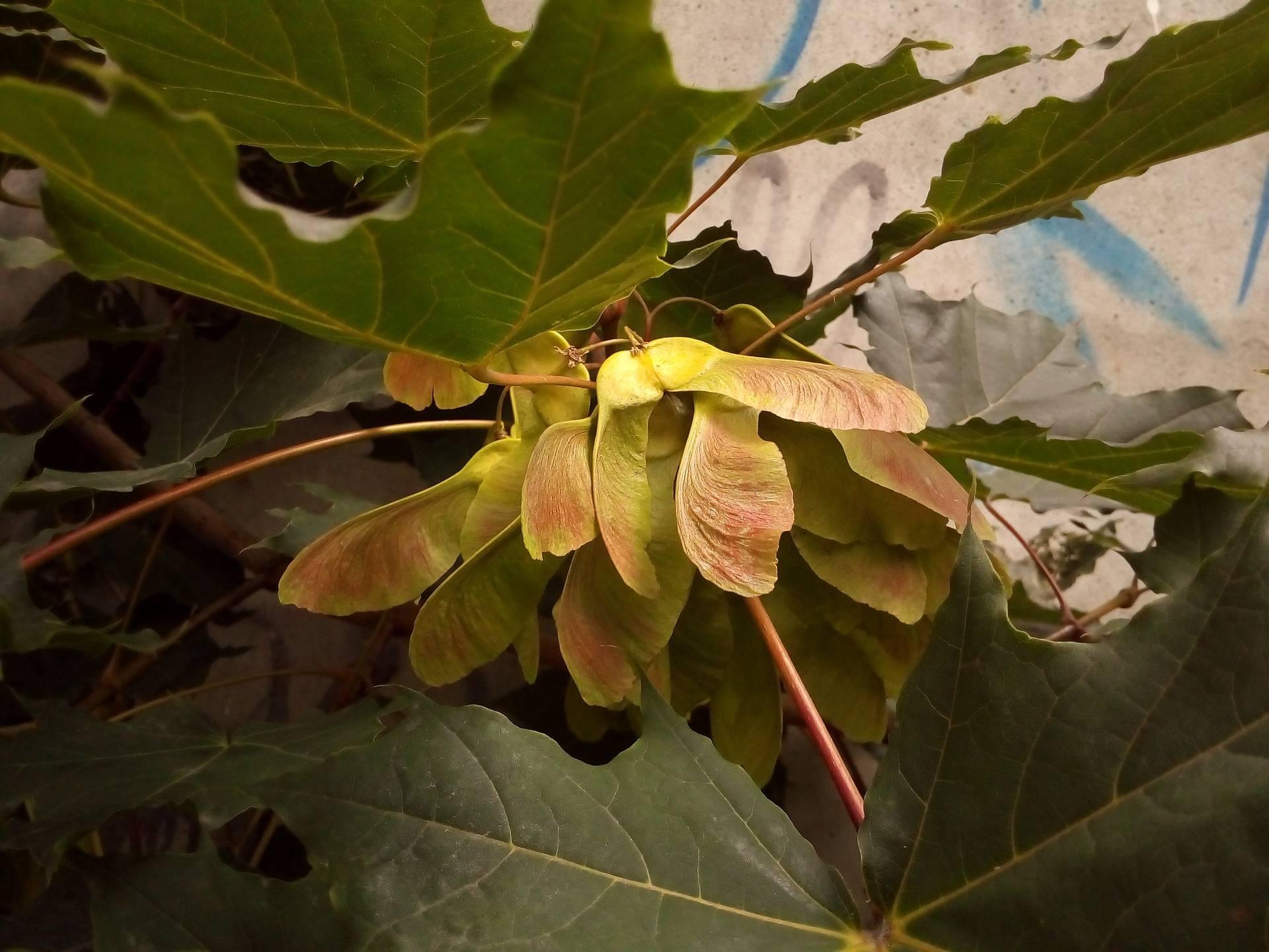 Обыкновенный клен остролистный (acer platanoides)