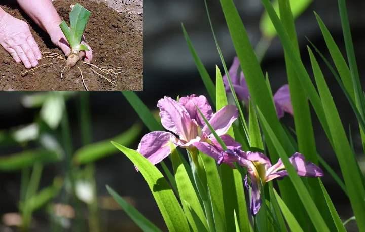 Как ухаживать за ирисами весной и летом?