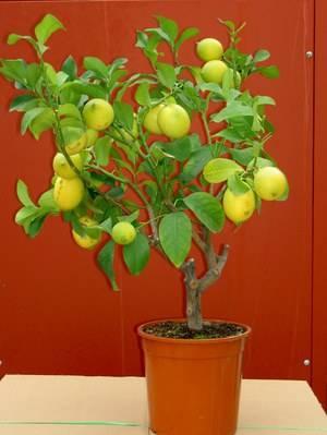 Особенности ухода за комнатным лимоном для получения ароматных плодов. правила обрезки лимона в домашних условиях формирование кроны лимона в виде куста