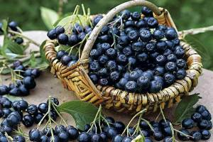 Полезные свойства черноплодной рябины: что мы знаем об этом растении?