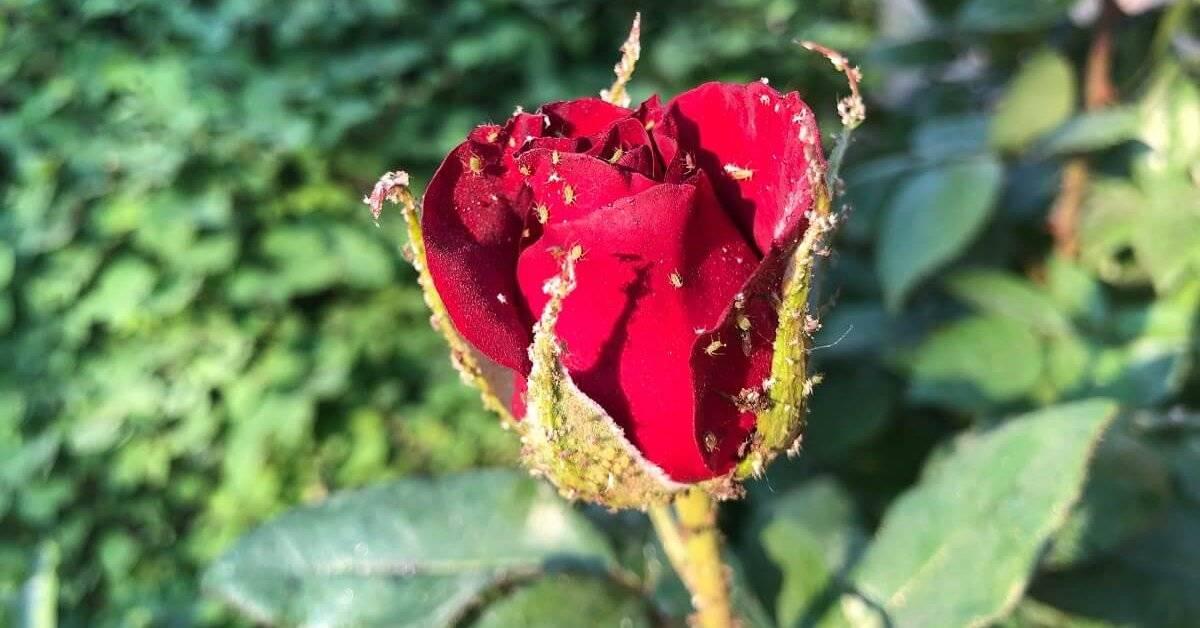 Тля на розах — что нужно срочно сделать. химические препараты против тли