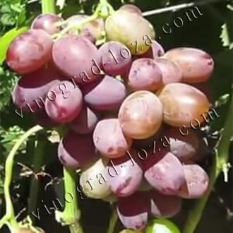Виноград ризамат: описание сорта, фото и отзывы садоводов