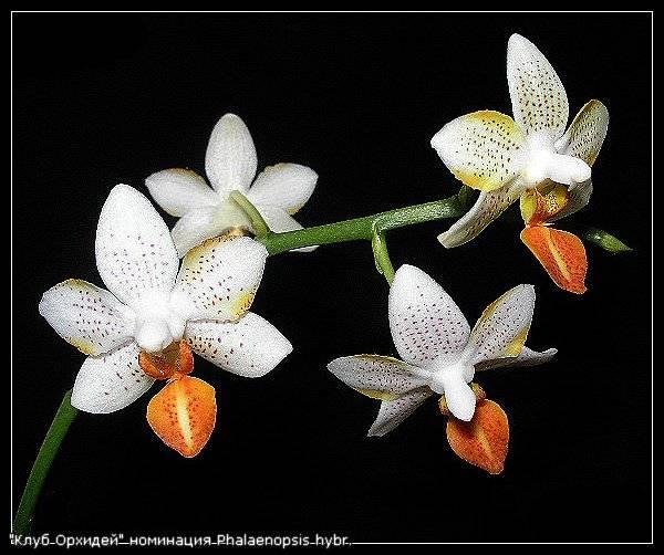 Плейоне – орхидея-павлин, или индийский крокус