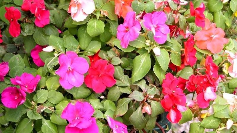 Комнатный цветок бальзамин : фото, описание, цветение