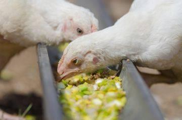 Содержание суточных цыплят