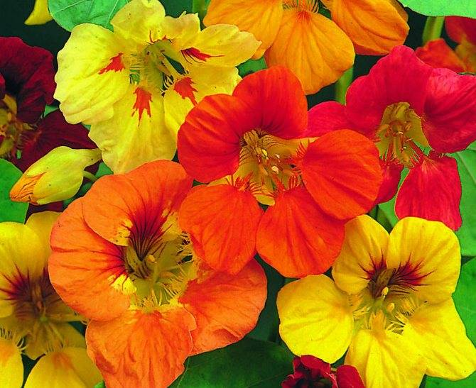 Настурция на балконе – цветы на всё лето