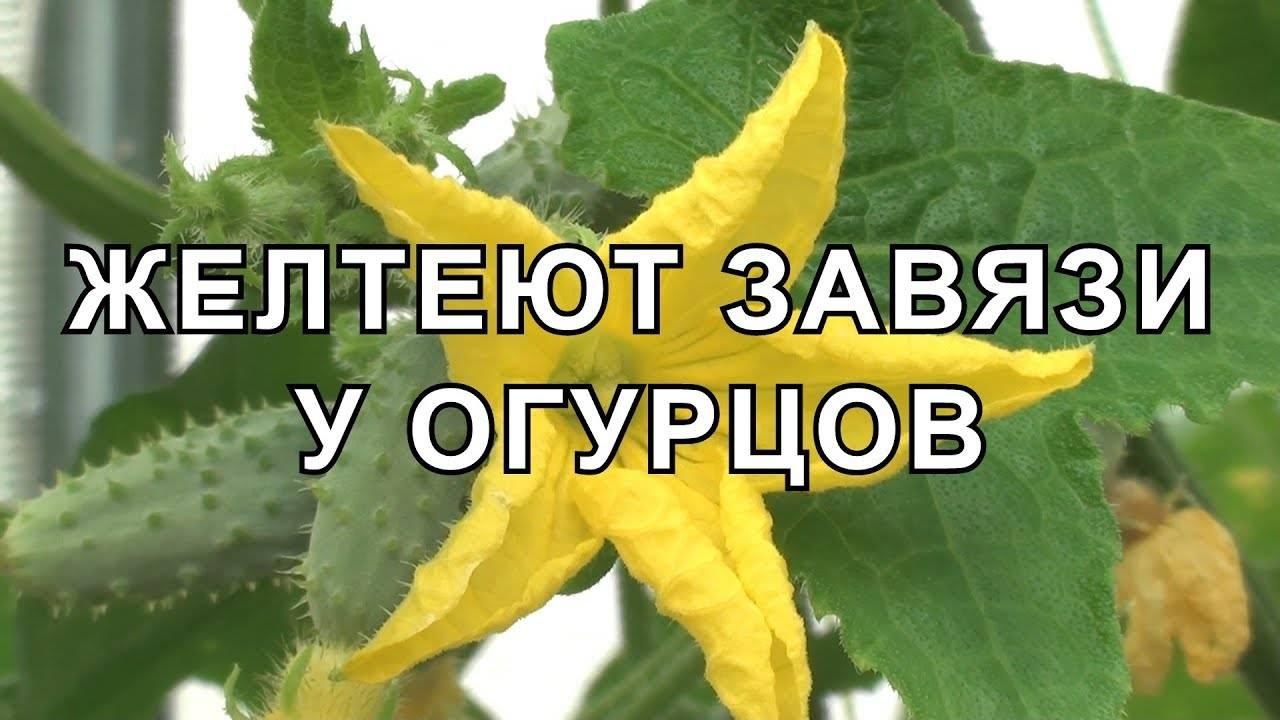 В теплице желтеет завязь огурцов, что делать: 5 советов