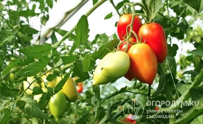 Кизильник черноплодный: декоративная и лечебная польза
