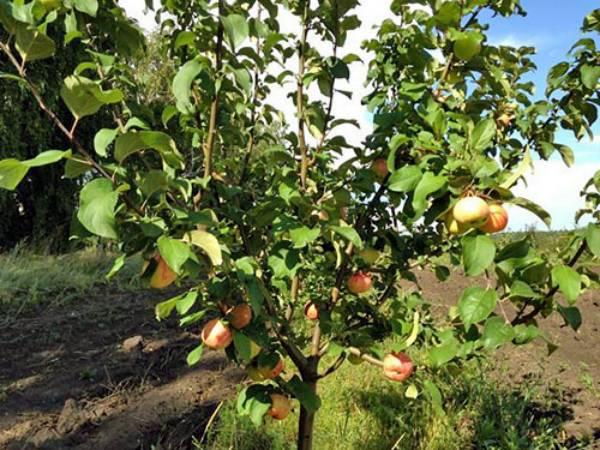 Яблоня «грушовка»: описание сорта, фото и отзывы