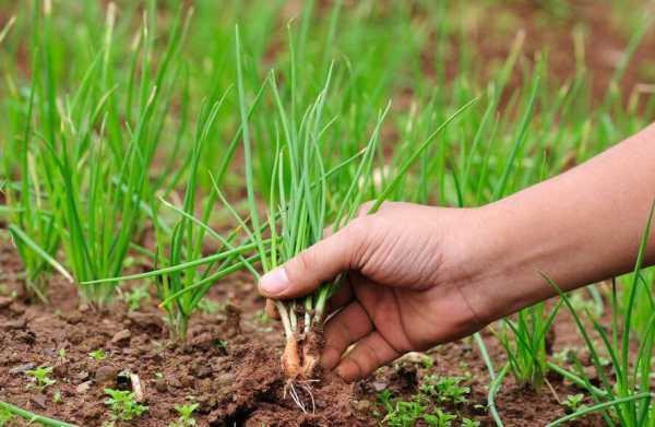 Выращивание лука шалота: что и как делать