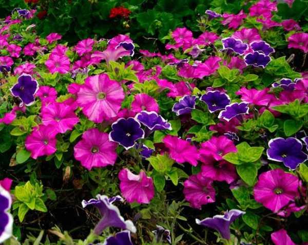 Какие цветы похожи на петунию?