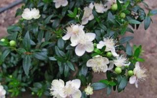 Комнатное растение мирт обыкновенный: выращивание и уход в домашних условиях