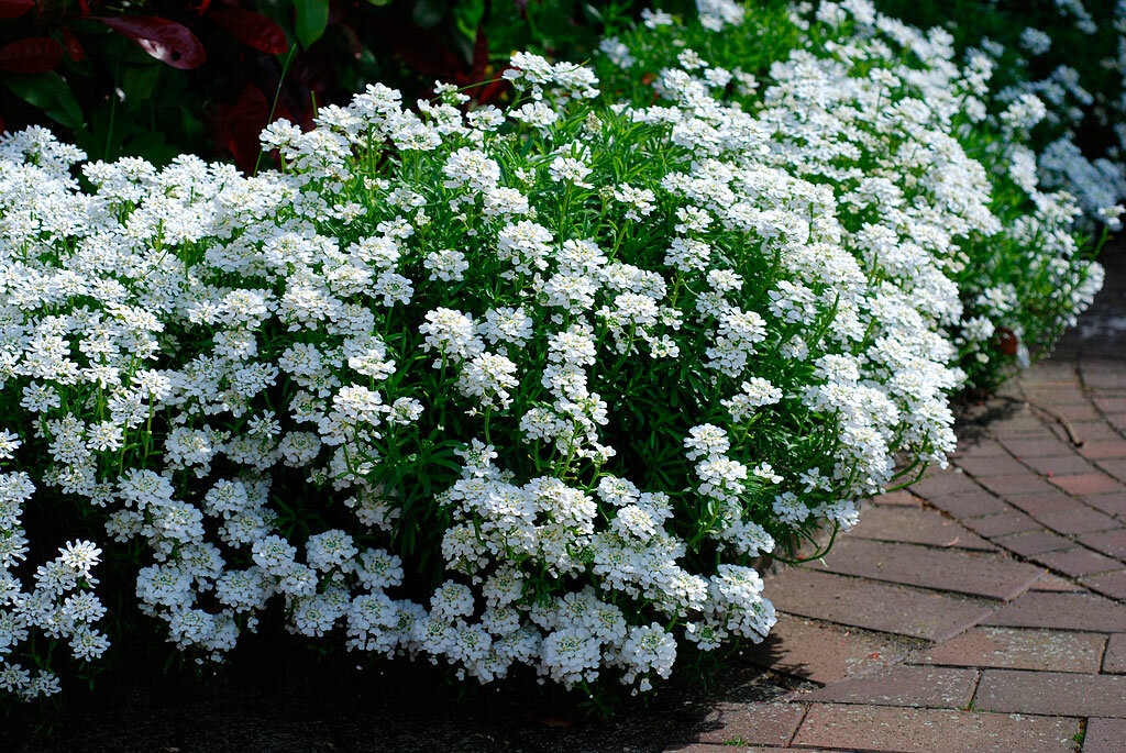 Использование ибериса при оформлении сада