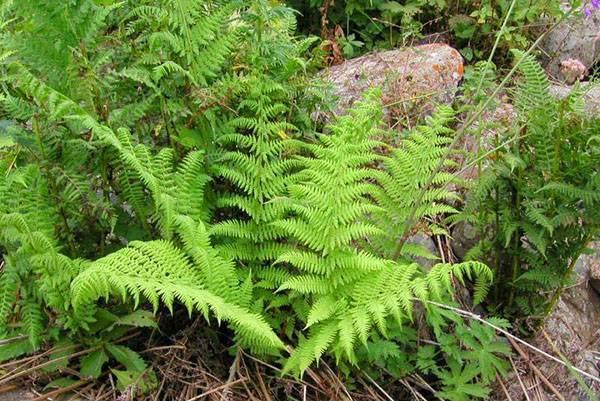 Цветок адиантум (adiantum): виды, фото и правила ухода