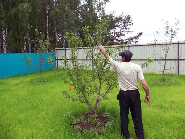 Вишня харитоновская – удачный выбор садовода
