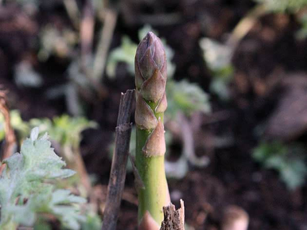 Спаржа из семян: самый эффективный способ выращивания