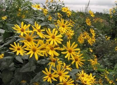 Агротехника, особенности и нюансы выращивания топинамбура в открытом грунте на даче, дома и для бизнеса