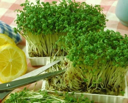 Растение кресс-салат: выращивание из семян в открытом грунте, фото, рассада в домашних условиях