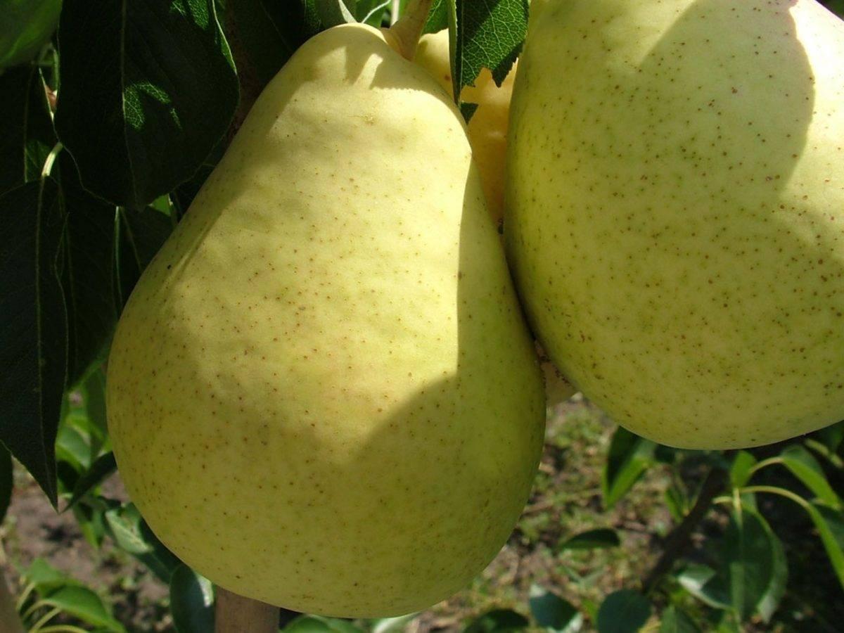 Самая первая груша, которая одарит вас плодами — скороспелка из мичуринска