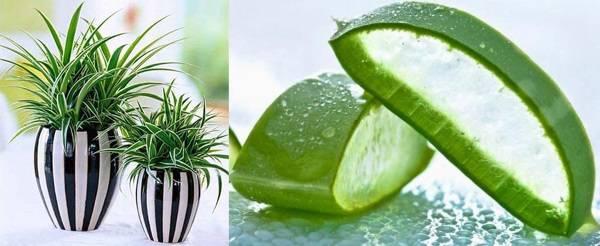 Полезные комнатные растения - хлорофитум, мирт, лавр, аспарагус, видео