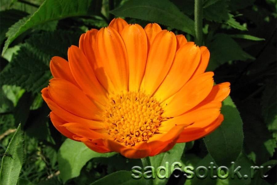 Календула – выращивание из семян
