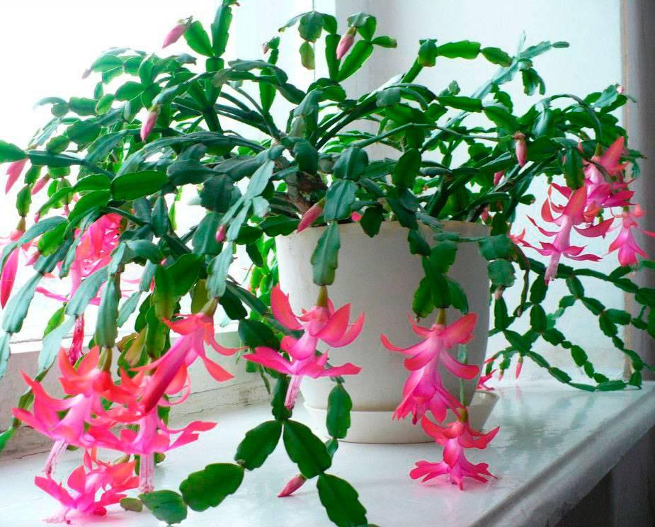 Декабрист, зигокактус или цветок шлюмбергера: описание и фото удивительного домашнего растения